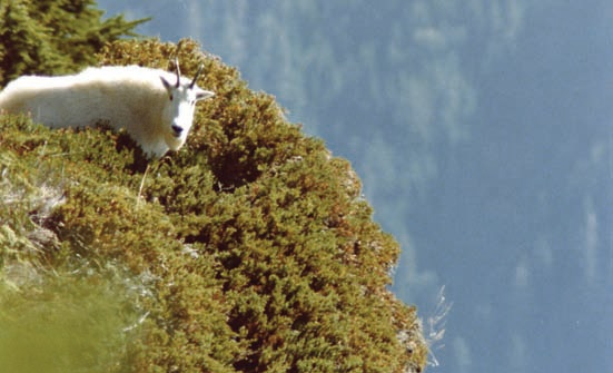 goat on edge of space